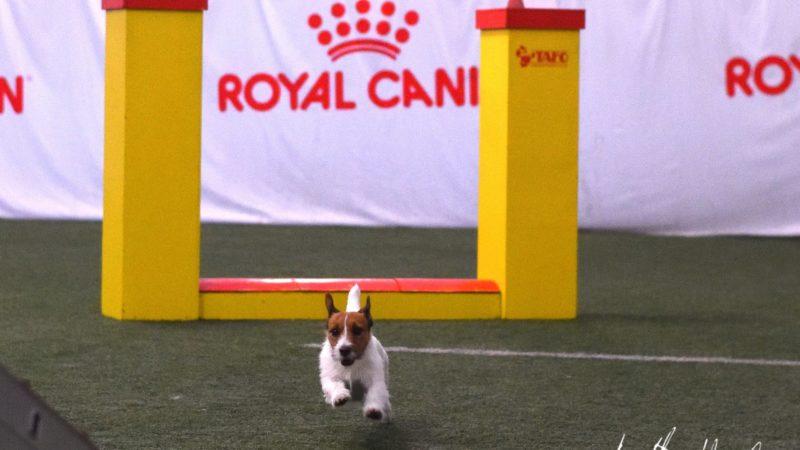 Alanud on registreerimine Jack Russell`i terjerite agility meistrivõistlustele